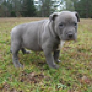thickbluepitbullpups